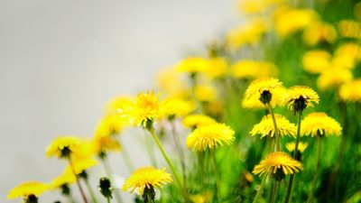 Dandelion: The Weed with Many Benefits